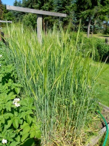 The Maris Otter is a winter variety so it's slower than the others (I planted early spring) but it looks great so far. Maybe it's better suited to our climate since we get a lot of rain in the spring. Too much rain at the wrong  time can also cause lodging.