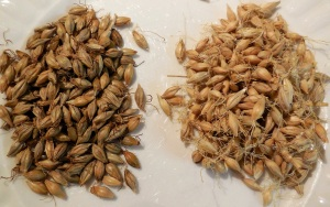 Brown malt on the left air-dried on the right.