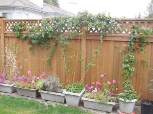 Here's my Fuggles with the new Cascade vine on the right.