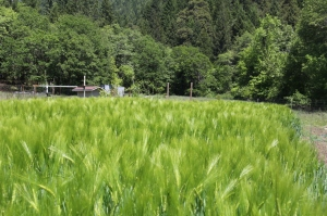 Alba winter barley