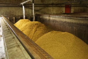 Barley recently emptied from the steep tank to a Saladin box at Gambrinus Malting Ltd.