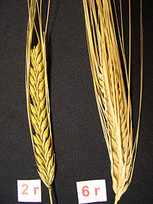 2-row barley and 6-row Bere