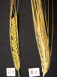 2-row barley and 6-row Bere